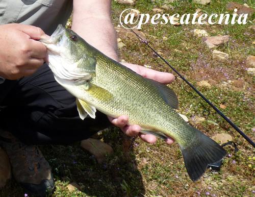 Black Bass después de la freza